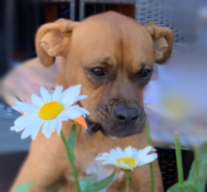 brown dog sniffing flowers